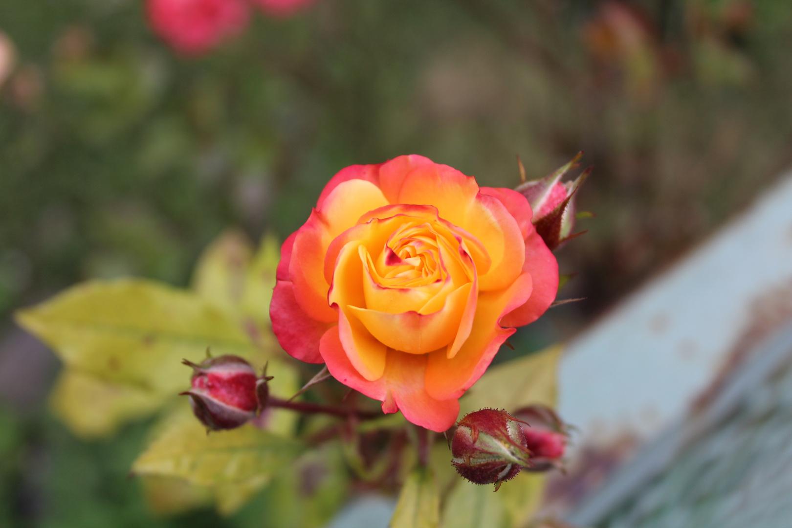 orangerote rose foto bild pflanzen pilze flechten bl ten kleinpflanzen rosen bilder. Black Bedroom Furniture Sets. Home Design Ideas