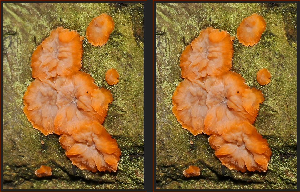 Orangeroter Kammpilz [3D]