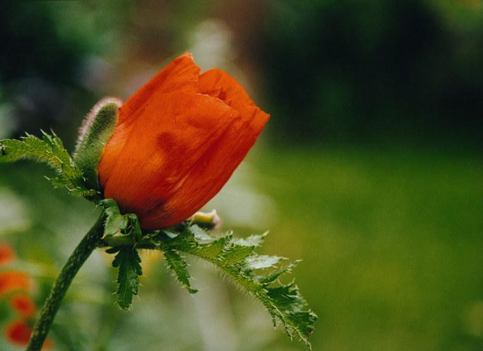 Orangeroter Mohn am späten Nachmitag