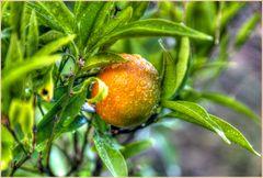 Oranges in Winter..