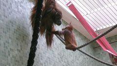 Orangutanbaby- Knuts Nachbarn