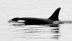 * Orca *