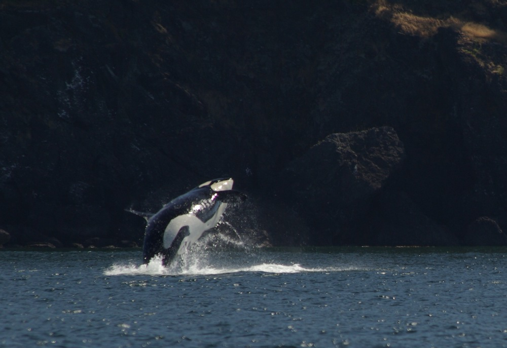 Orca im Sprung
