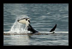 [ Orca in der Johnstone Strait ]