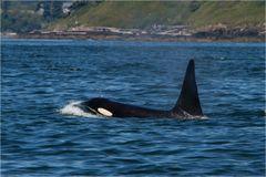 Orca @ San Juan Islands