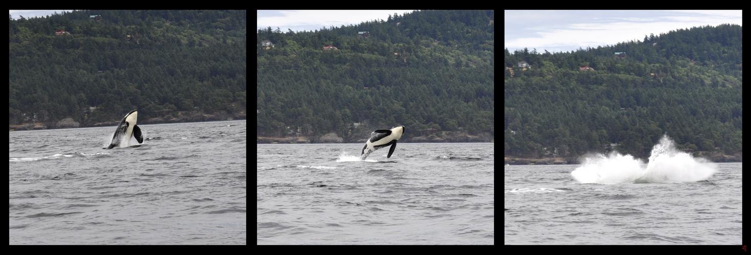 Orca-Sprung