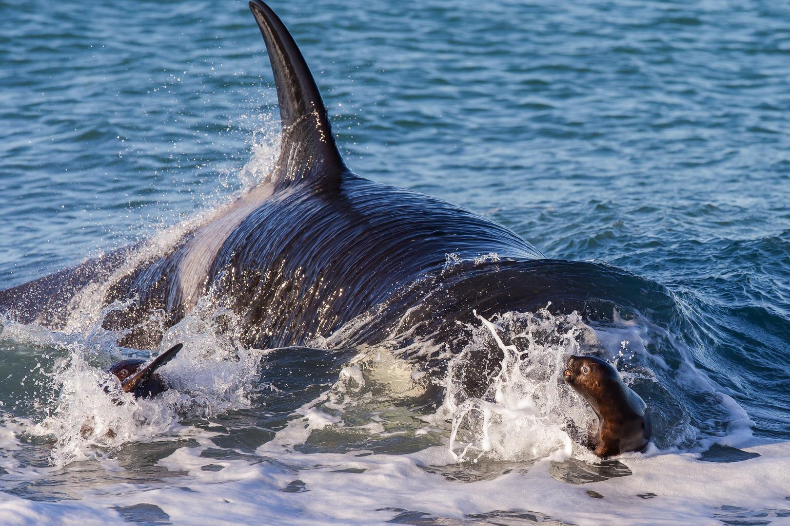 Orcas - Punta Norte, Angriffskanal