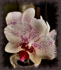 Orchid for mother´s day