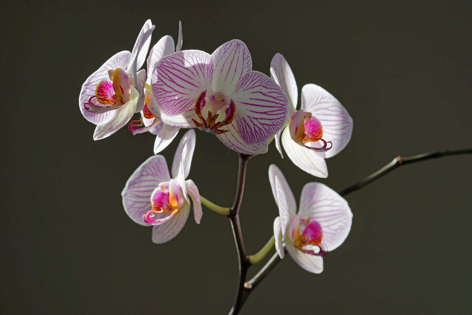 Orchid in morning sunlight