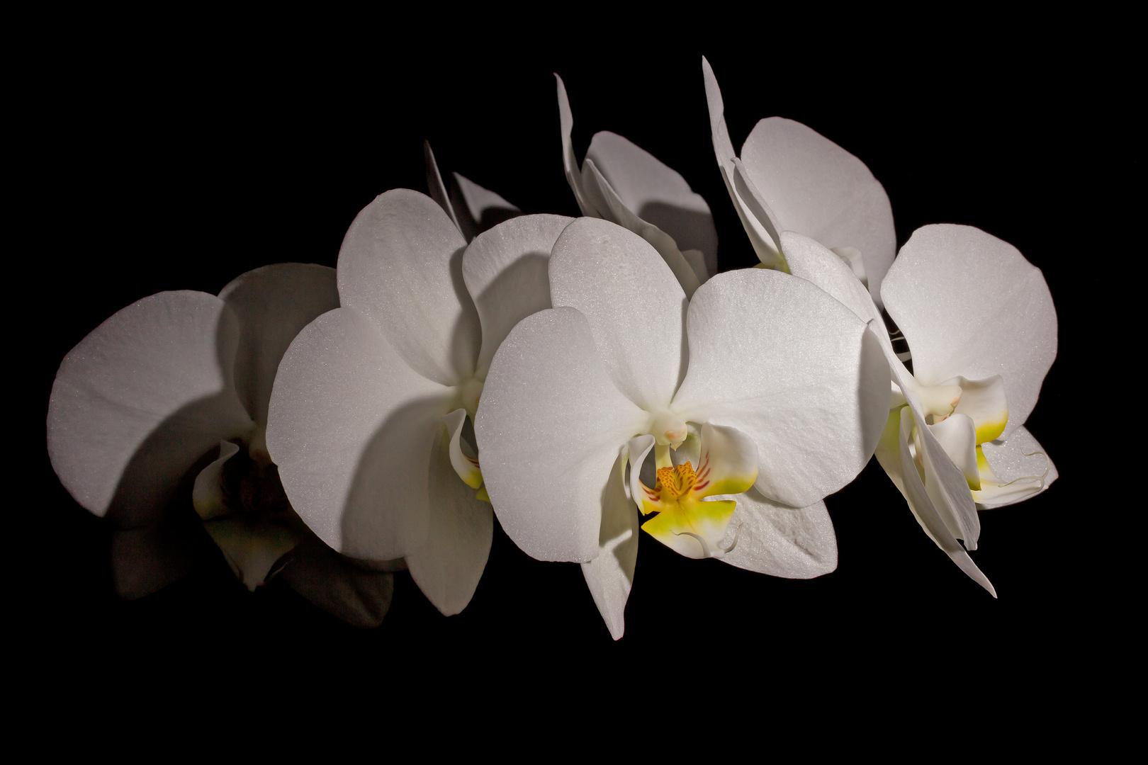 Orchidacea phalaenopsis crefeldina (Krefelder Nachtfalter)