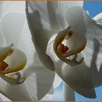 Orchidaceae II