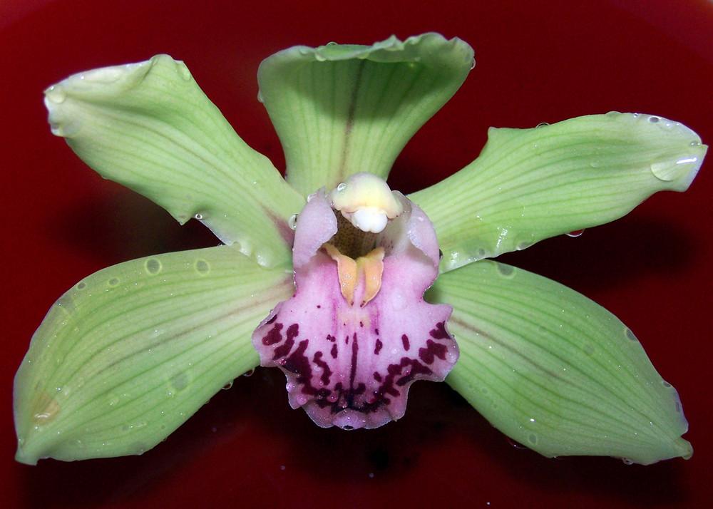 orchidea..