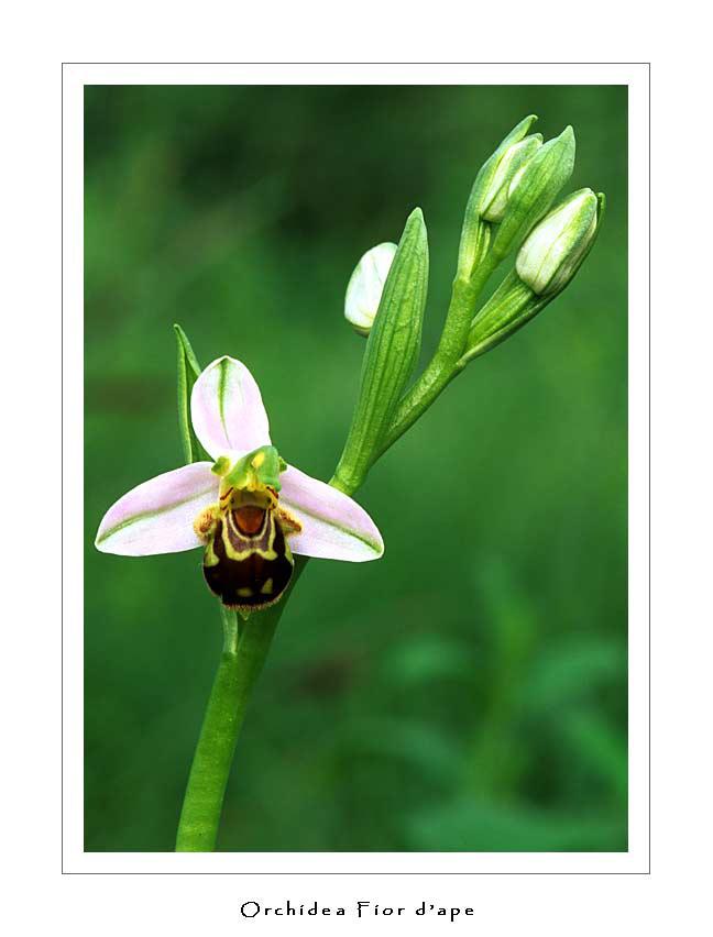 Orchidea Fior d'Ape