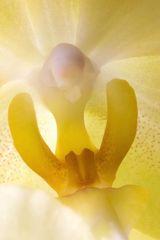 Orchidea gialla vista... da un'ape