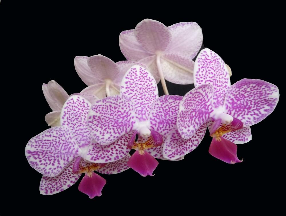 orchidea in aprile