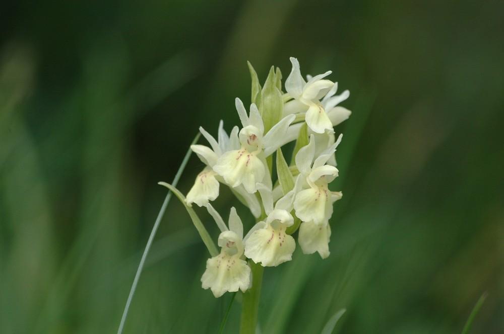 Orchidea Sambucina (gialla)