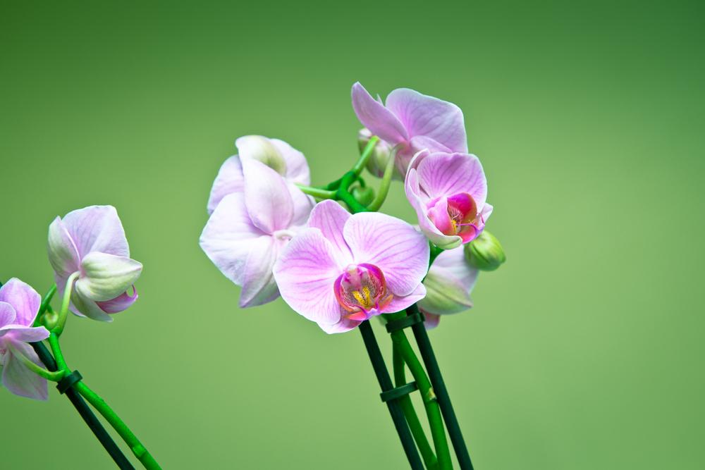 Orchidea uno