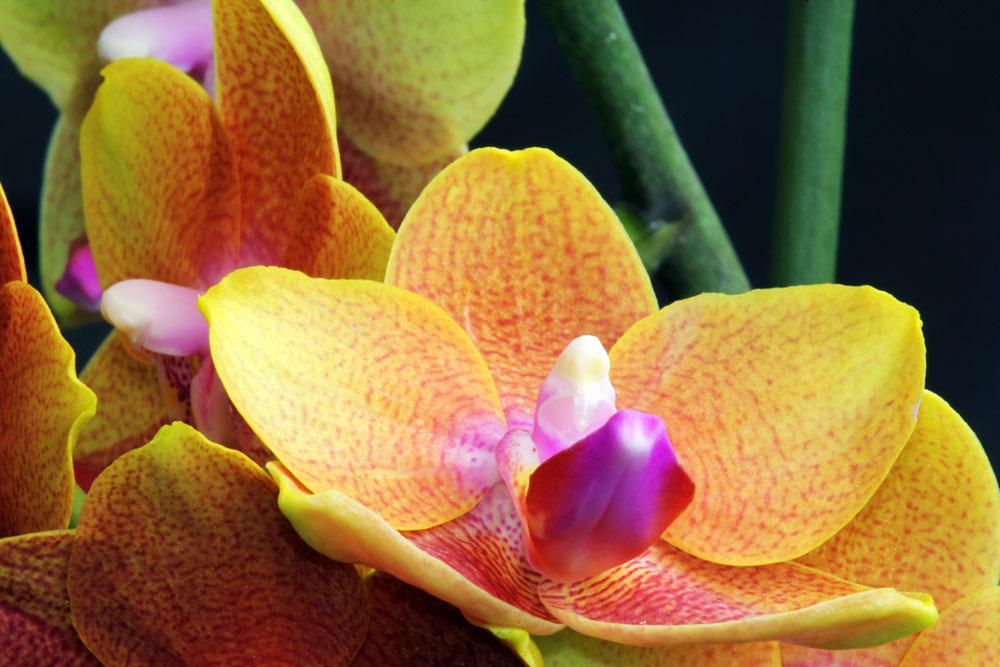 Orchidee 003