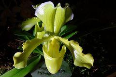 Orchidee 11