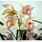 Orchidée°