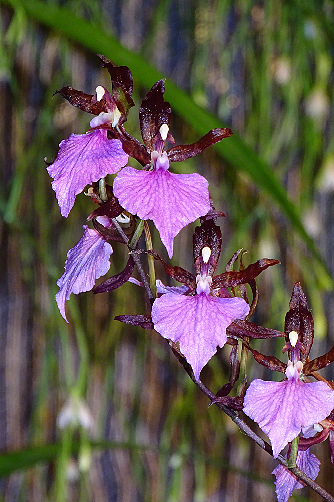 Orchidee-29