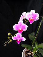 Orchidee 3