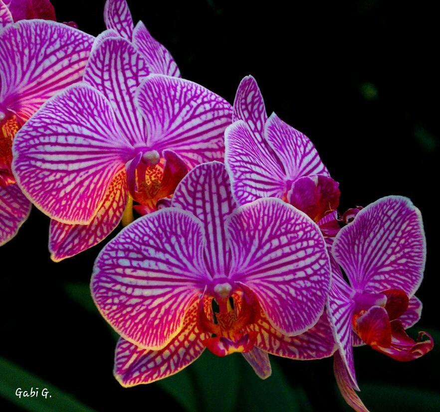 Orchidee Ahlen