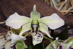 Orchidee-32