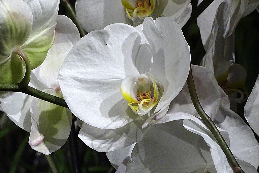 Orchidee-35