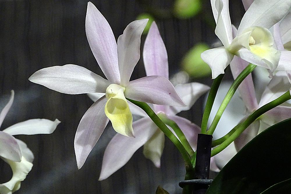 Orchidee-36