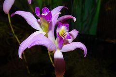 Orchidee-41