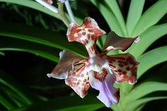Orchidee-43