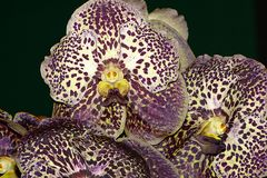 Orchidee-50