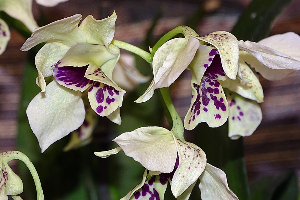 Orchidee-51
