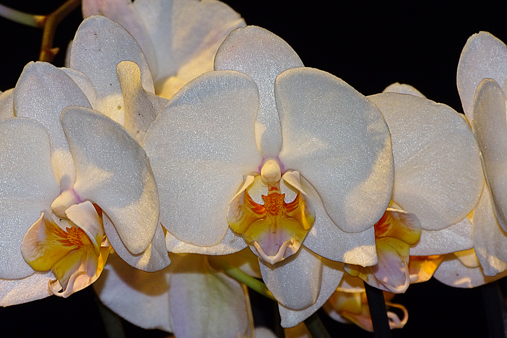 Orchidee-53