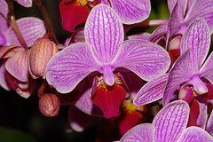 Orchidee-57