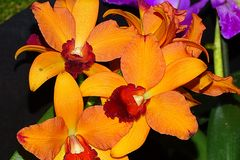 Orchidee-58