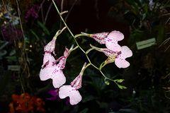 Orchidee-59