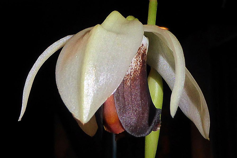 Orchidee 6