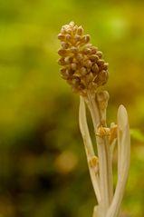 Orchidee 6/2010 (Nestwurz)