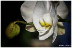 ..Orchidee ...