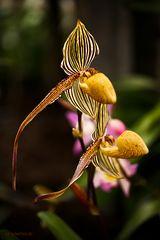 Orchidee .. aber welche ?