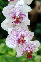 Orchidee am Bodensee auf der Mainau...