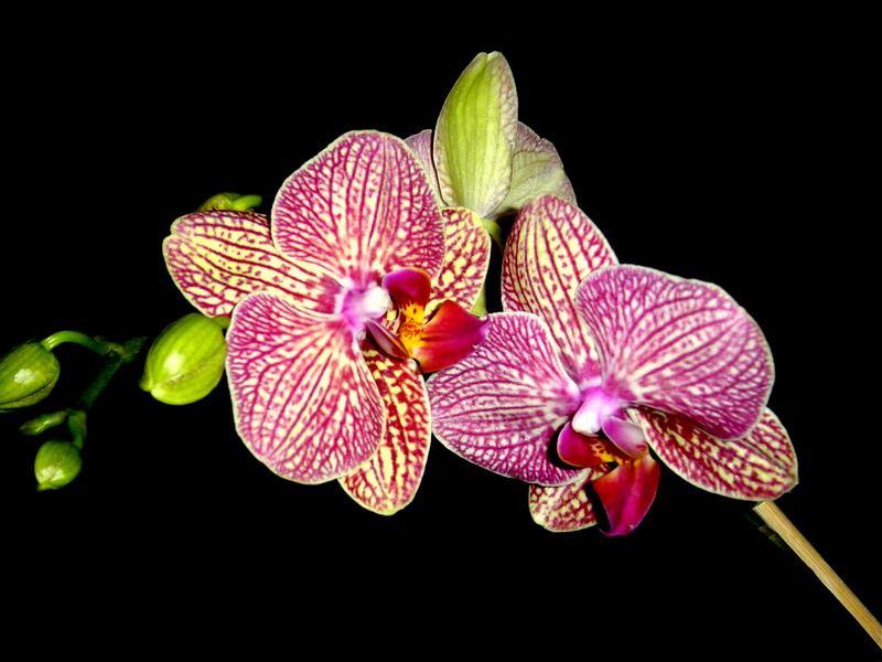 Orchidee Bei Nacht