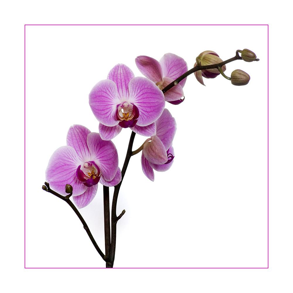 orchidee foto  bild  pflanzen pilze  flechten blüten