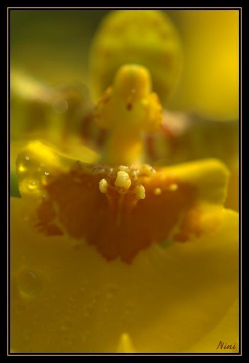 Orchidée Cambria ...