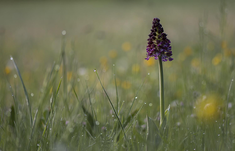 Orchidée dans la rosée d'une matinée de printemps