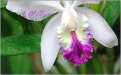 ... Orchidee ...