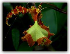 Orchidee ?
