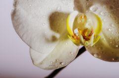 Orchidee..